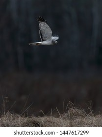 Northern Harrier ghost white male in flight with wings spread up gliding across tall grass field against dark shaded background.
