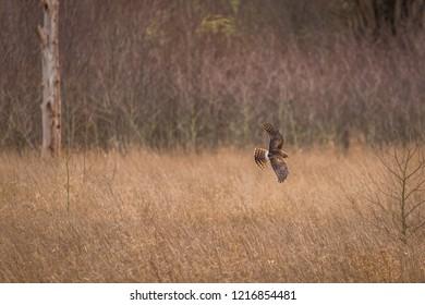 Northern harrier hunting in flight. Nisqually wildlife refuge, Washington, USA
