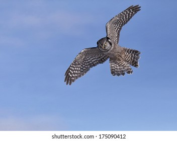 Northern Hawk Owl in flight against a blue sky background.