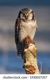 northern hawk owl in frozen winter time on meadow.