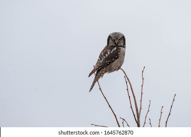 Northern Hawk Owl Hunting Its Prey From A Tree Top.