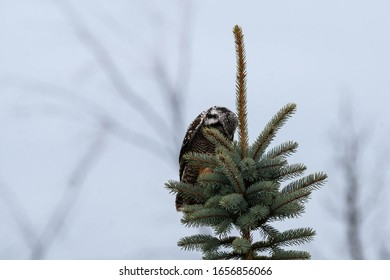 Northern Hawk Owl Perched On A Tree Top