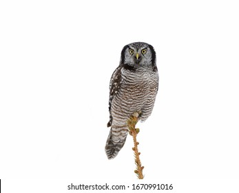 Northern Hawk Owl Perched on Pine Tree Top on White Background, Isolated