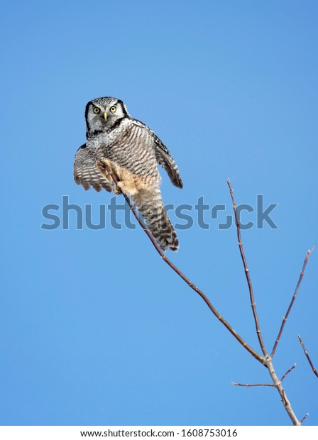 Northern Hawk owl perched in tree