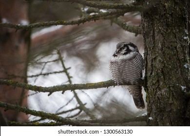 The Northern Hawk Owl (Surnia ulula) is a daylight hunter. Here perching on a pine branch close to the trunk.