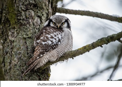 The Northern Hawk Owl (Surnia ulula) is a daylight hunter. Here perching on a pine branch close to the trunk with a gray defocused backrground