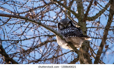 The Northern Hawk Owl (Surnia ulula) is a daylight hunter. Here perching on a branch in the larch tree with all its twigs with a blue sky in the backrground