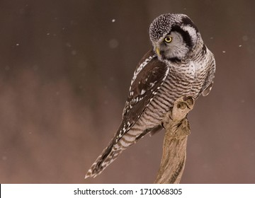 The northern hawk-owl is a medium-sized true owl of the northern latitudes. It is non-migratory and usually stays within its breeding range, though it sometimes irrupts southward.
