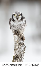 Northern hawk-owl (Surnia ulula) is a medium sized true owl of the northern latitudes. It is non-migratory and usually stays within its breeding range, though it sometimes irrupts southward.