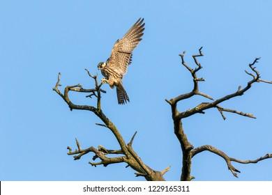 Northern Hobby (Falco subbuteo). Russia, Moscow