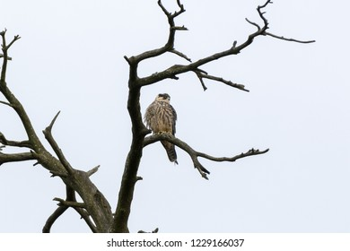 Northern Hobby (Falco subbuteo). Russia, Moscow