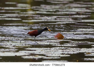 Northern jacana walking over leaves on New River in Belize
