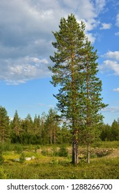 Northern landscape with tree. Suomi