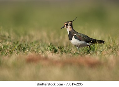 Northern Lapwing in the grassses