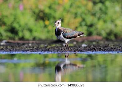 Northern Lapwing Vanellus vanellus - Shutterstock ID 143885323