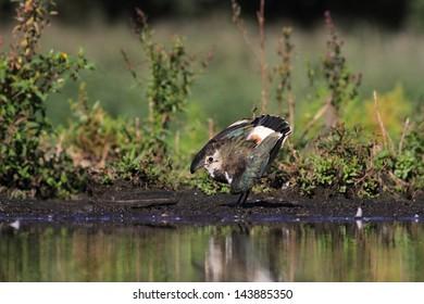 Northern Lapwing Vanellus vanellus - Shutterstock ID 143885350