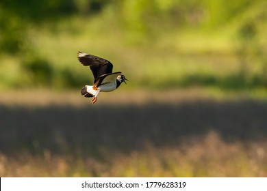 Northern lapwing (Vanellus vanellus) flying and calling above a meadow at sunset. White bird with black wing in its green environment. Wildlife scene from anture. Czech Republic