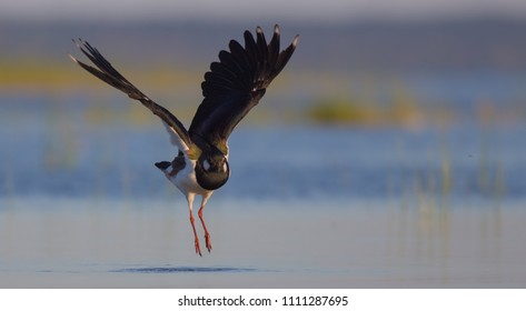 Northern Lapwing - Vanellus vanellus - on the shore of Curonian lagoon, Klaipeda county, Lithuania