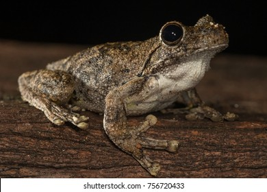Northern Laughing or Roth's Tree Frog (Litoria rothii). Atherton, Queensland, Australia.