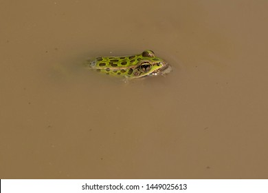 Northern Leopard Frog basking in the shallow muddy water. Also known as a Meadow Frog. Carden Alvar Provincial Park, Kawartha Lakes, Ontario, Canada.