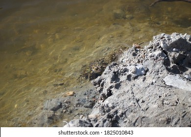Northern Leopard Frog (Lithobates pipiens) in the Big Cobb River, Minnesota