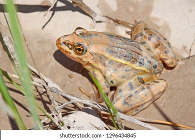 Northern Leopard Frog in a muddy stream of the Conata Basin in Badlands National Park