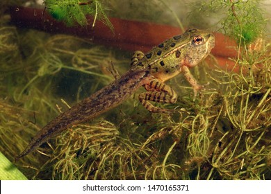 A Northern Leopard Frog in the process of metamorphosing from the tadpole to the adult stage.  It still has tadpole traits (like the tail), but is also growing adult traits (like the four legs).