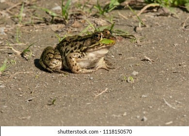 Northern Leopard Frog sitting on the edge of a sandy path basking in the sun. Carden Alvar Provincial Park, Kawartha Lakes, Ontario, Canada.