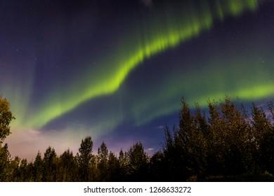 Northern lights with pine trees near Fairbanks in Alaska in USA