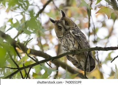 Northern long-eared owl in a American sweetgum (Liquidambar styraciflua) in Blaricum (the Netherlands)
