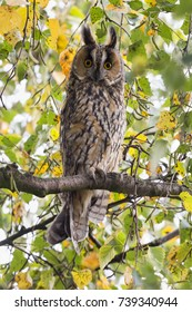 Northern long-eared owl in a birch tree in Blaricum (the Netherlands)