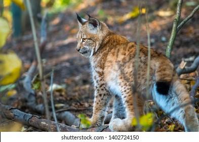 Northern lynx (Lynx lynx lynx)