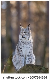 a northern lynx in the forest
