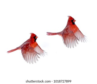 Northern Male Cardinals in Flight