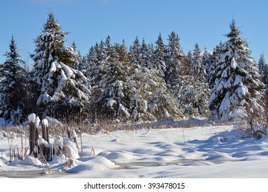 Northern Minnesota Winter Landscape - Pine trees Covered in Snow