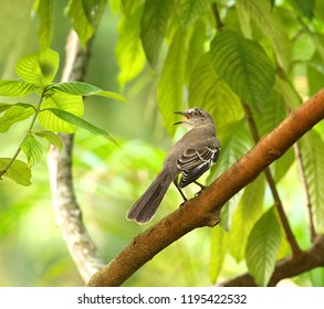 Northern mocking bird singing and perched on a tree branch.