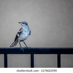 Northern Mockingbird Fledgling