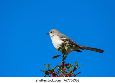 Northern Mockingbird Perched In Holly Bush