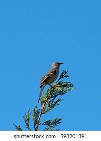 Northern Mockingbird perched in Juniper tree
