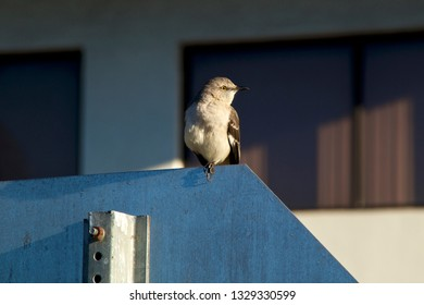 A Northern Mockingbird is perched on a stop sign looking right with building in background