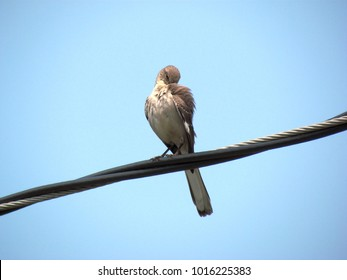 northern mockingbird sits on an electric wire between poles with its head tucked under its wing; Harrisonburg, VA, USA