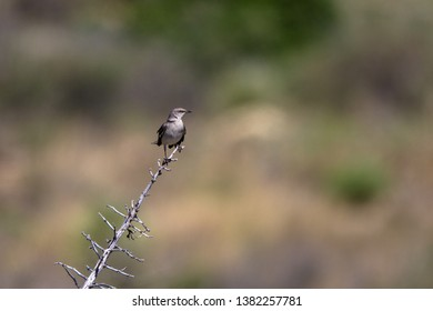 Northern Mockingbird in spring in southern New Mexico