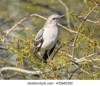 A Northern Mockingbird takes a break on a branch