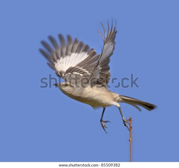 Northern Mockingbird taking off. Latin name - Mimus polyglottos.