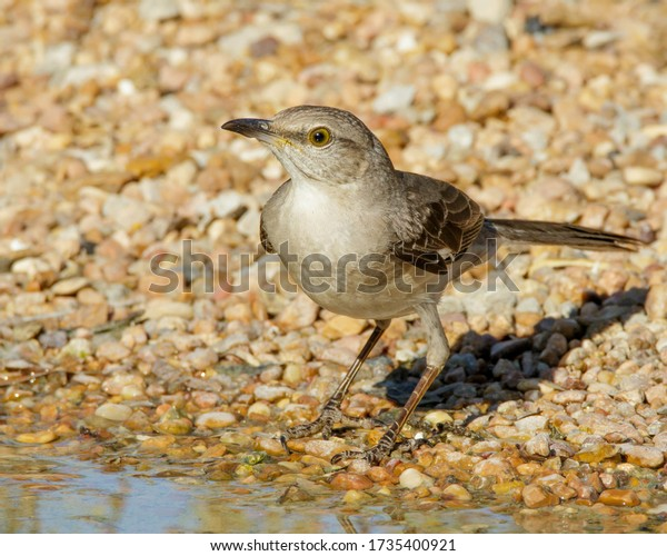 Northern Mockingbird at water's edge in South Texas