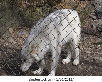 Northern NJ/USA - May 1, 2020:  A large white wolf with his head down, seen through a fence.