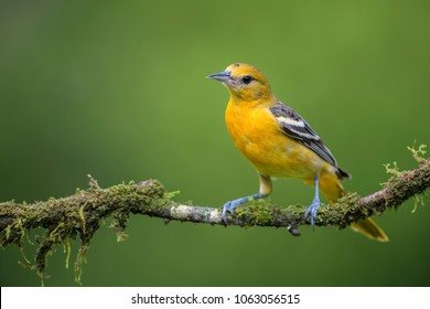 Northern Oriole - Icterus galbula, beautiful orange oriole from Central America forest, Costa Rica.