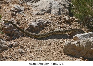 Northern pacific rattlesnake (Crotalus molossus) in Arizona - USA