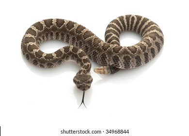Northern Pacific Rattlesnake (Crotalus oreganus) isolated on white background.