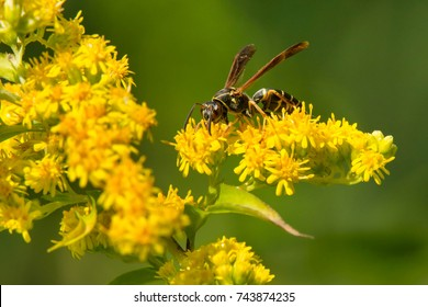 Northern Paper Wasp collecting nectar from a Goldenrod flower. Also known as Golden Paper Wasp. High Park, Toronto, Ontario, Canada.